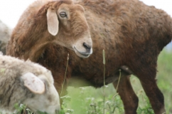 Овца эдильбаевской породы