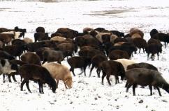 Овцы эдильбаевской породы в зимних условиях
