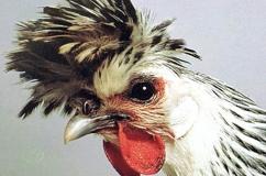 Аппенцеллер порода кур