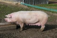 Белая крупная свинья