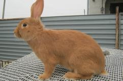 Кролик бургундской породы на столе