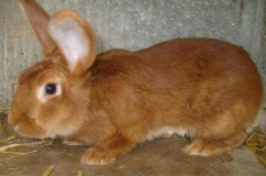 Бургундский кролик на фото