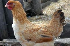 Царскосельская порода кур