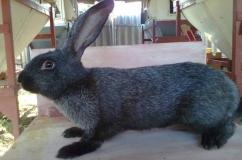 Порода Черно бурый кролик
