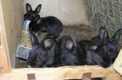 Кролики Черно бурый