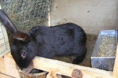 Кролик породы Черно бурый