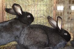 Пара Черно бурых кроликов