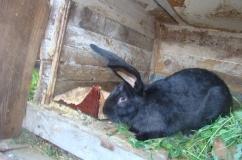 Крольчиха Черно бурой породы