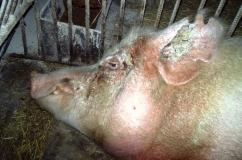 Пораженная чесоткой свинья