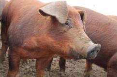 Свинки породы Дюрок на фото