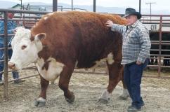 Герефордская порода коров: характеристика и описание с фото