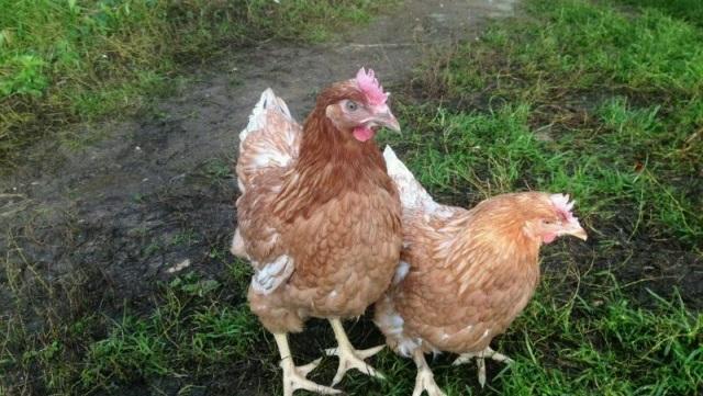 Хайсекс белый сортировка цыплят по полу