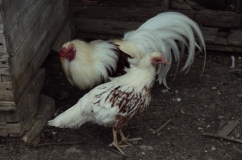 Петух и курица породы Йокогама