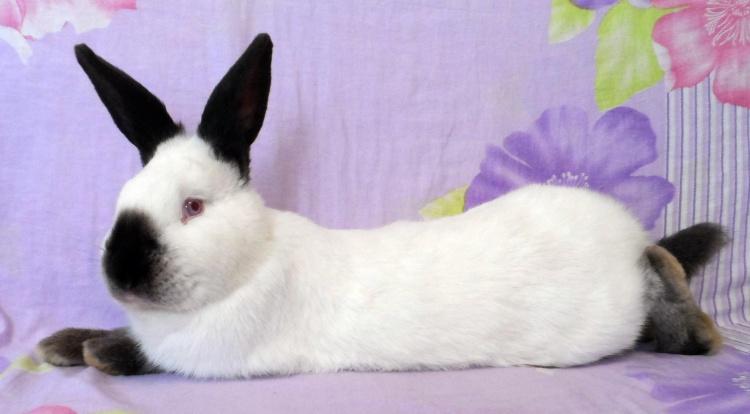 Кролики калифорнийской породы разведение и содержание в домашних условиях