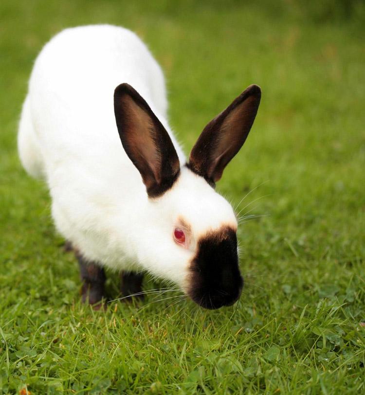 Выращивание кроликов в калифорнийских 445