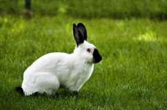 Калифорнийский кролик на траве