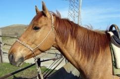 Лошадь каурой масти