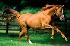 Каурая лошадь в беге
