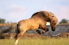 Красивая лошадь каурой масти