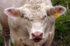 Шароле порода коров: подробное описание, характеристика, удойность и фото