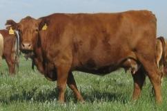 Красная степная порода коров