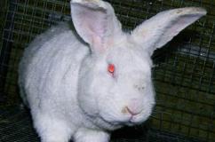 Порода кроликов Белый Паннон