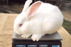 Кролик Белый Паннон на весах