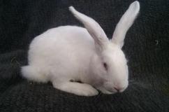 Крольчонок Белый Паннон