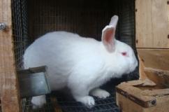 Крупный кролик Белый Паннон