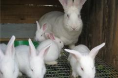 Крольчиха белый великан с крольчатами