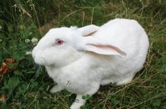Кролик белый великан на траве