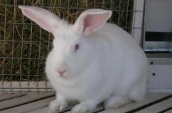 Красивый кролик породы белый великан