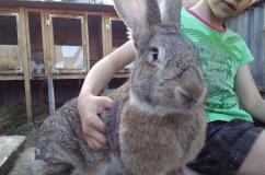 Молодой кролик породы Обер