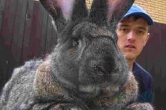Крупный кроль породы Обер