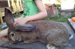 Кролик породы Обер на столе