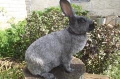 Кролики породы серебристый