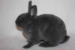 Серый кролик рекс