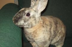 Породный кролик Рекс
