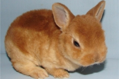 Рыжий крольчонок породы Рекс