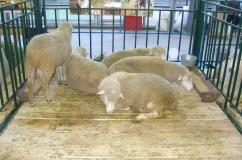 Куйбышевская порода овцы