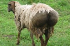 Овца с большим курдюком