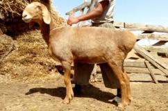 Красивая курдючная овца
