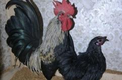 Курица и петух породы Шабо