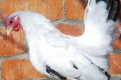 Курица породы Шабо