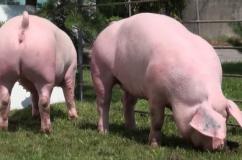 Две свинки породы Ландрас