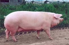 На фото свинка породы Ландрас