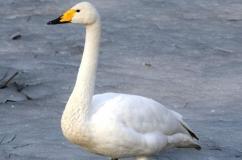 Красивый лебедь кликун