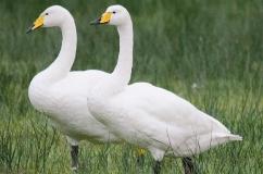 Два лебедя кликуна на лугу