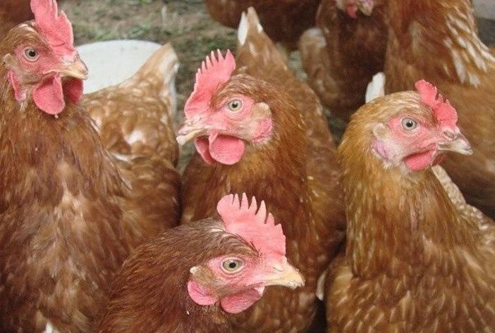 Новые породы кур