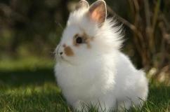 Красивый белый львиноголовый кролик